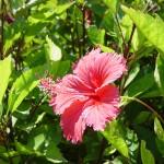 沖縄の風景-ハイビスカスの花 瀬底島