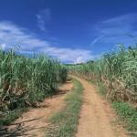 沖縄の風景-きび畑 石垣島